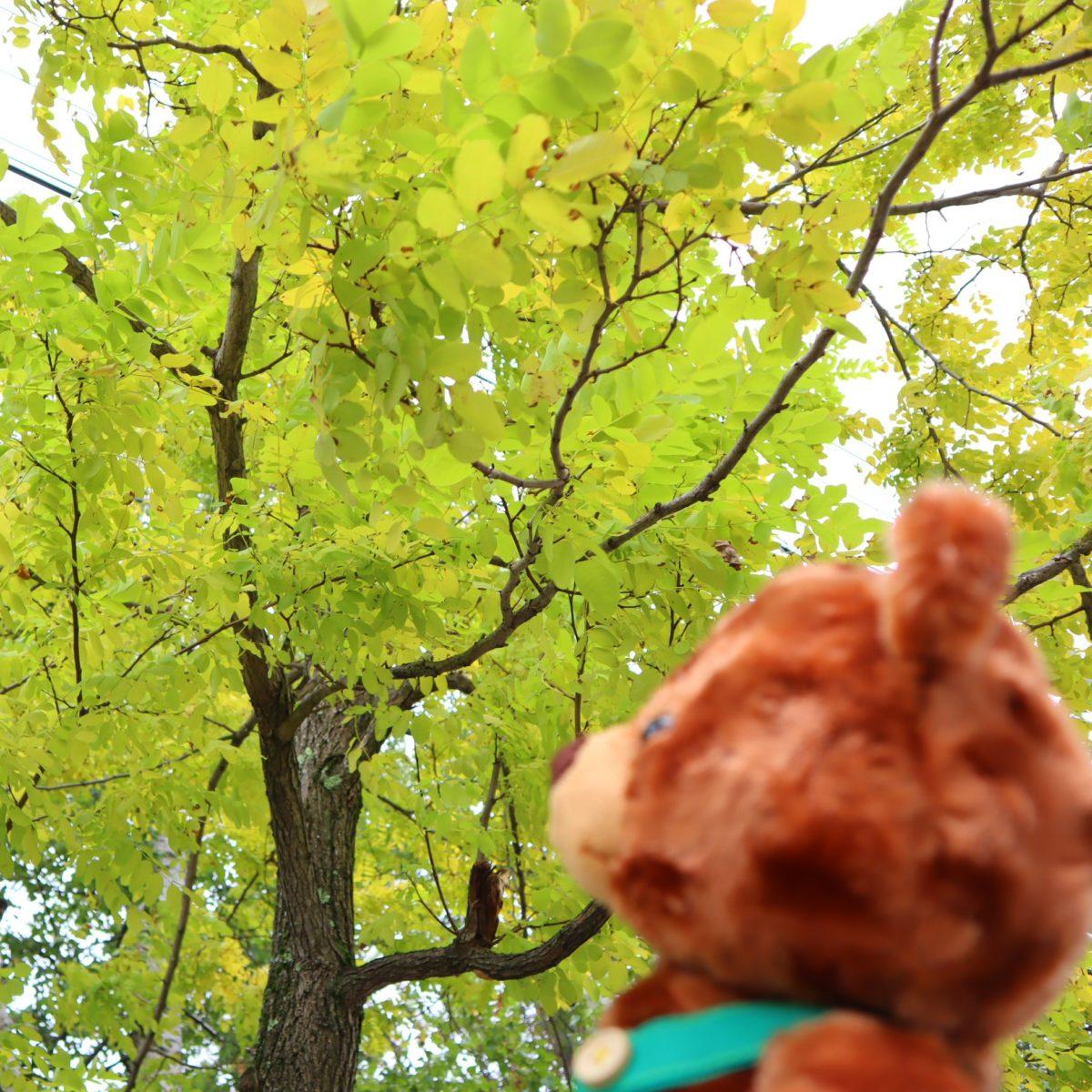 グッティーとアカシアの木②