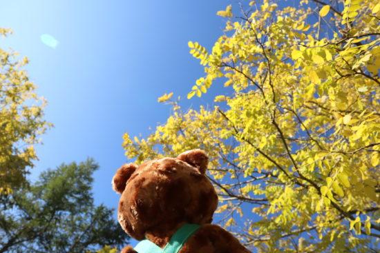 黄色のアカシアの木