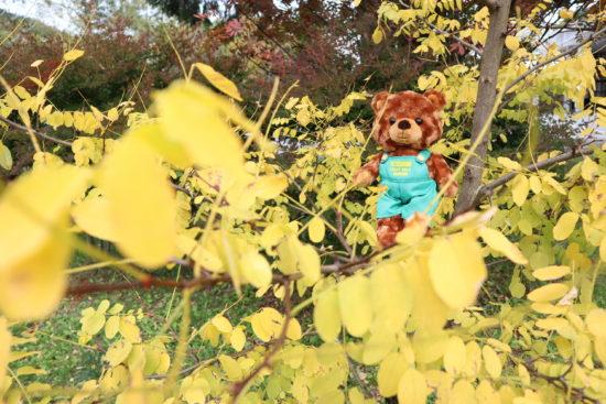 アカシアの葉