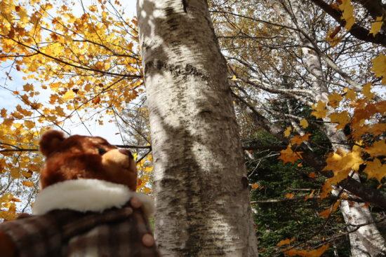 シラカバの木とスズカケ